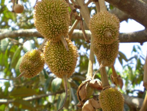 Kampung Buah Cikalong Cluster Durian Musang King