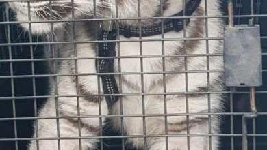 Photo of Aseguran un tigre blanco durante cateo de la FGR