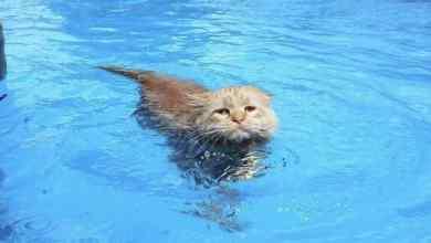 Photo of ¿Que a los gatos les gusta bañarse? Pues Tissy rompe el estereotipo