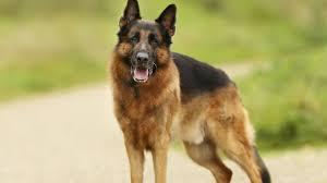 Un segundo perro da positivo a coronavirus en el mundo