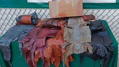 Photo of Hallan 34 piezas de piel de cocodrilo en aeropuerto