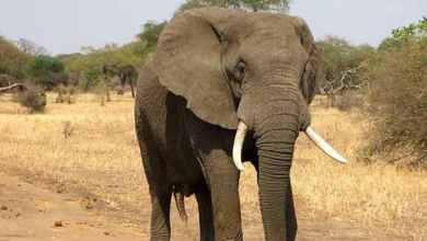 Photo of FOTOS: Hallan muertos a más de 350 elefantes