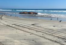 Photo of Hallan ballena putrefacta en Playas de Rosarito