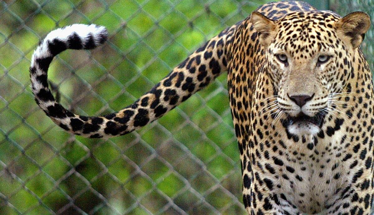 Niña-muere-tras-ser-mutilada-por-leopardo