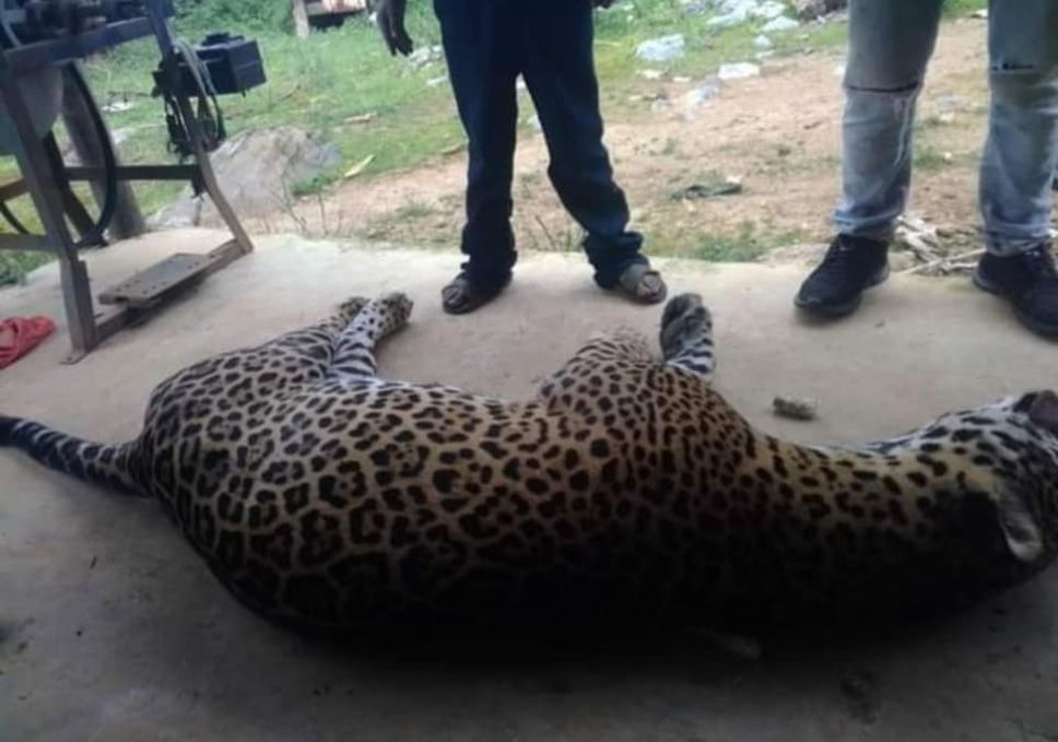 Campesino-envenena-a-jaguar-porque-mató-a-su-burro