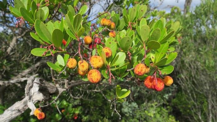 medronho berries algarve