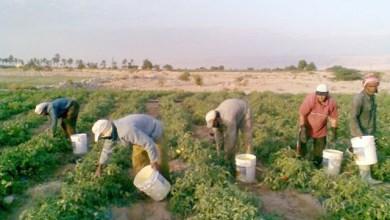 Photo of مزارعون في وادي الأردن: نقص العمالة يهدد بفشل الموسم الحالي