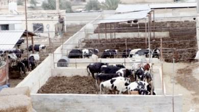 Photo of الشحاحدة: ماضون بقرار وقف استيراد الأبقار الحلوب