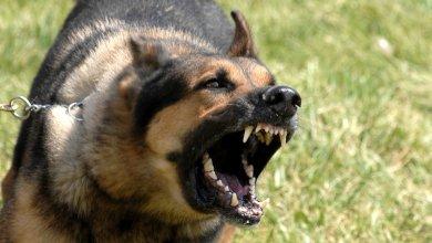 Photo of الكرك: كلب ضال يعقر طفلة ويتركها بحالة حرجة