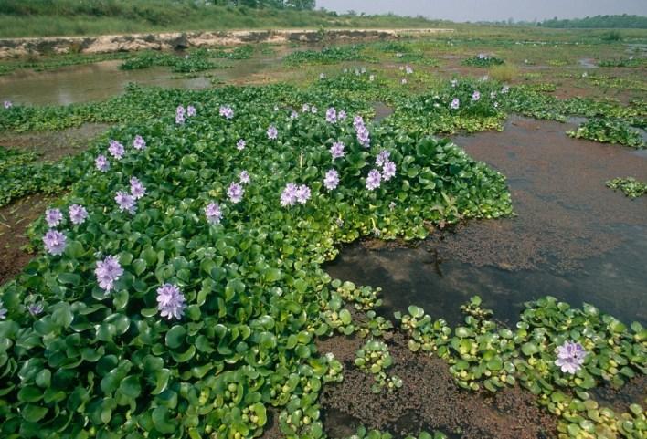 زهرة النيل فوق النهر