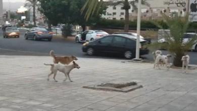Photo of العقبة: ارتفاع أعداد الكلاب الضالة في شوارع وأحياء المدينة
