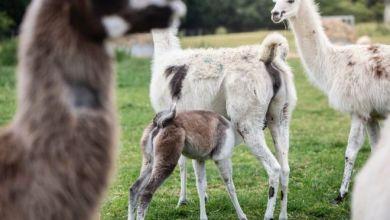 Photo of فيروس كورونا: حيوان اللاما قد يوفر علاجا للوباء