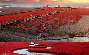 "Photo of ""الشاطئ الأحمر"" في الصين..رومانسية ""غير اعتيادية"""