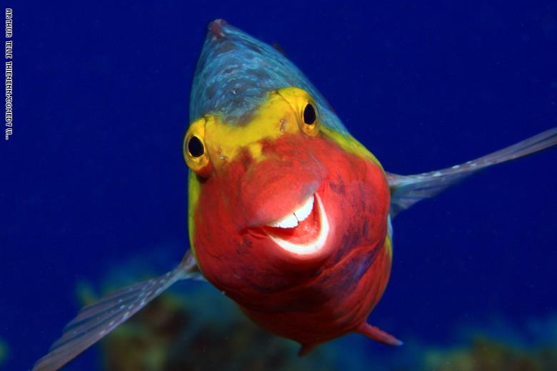 سمكة ببغائية متوسطية وملونة. مبتسمة من الصور التي تشارك في المسابقة