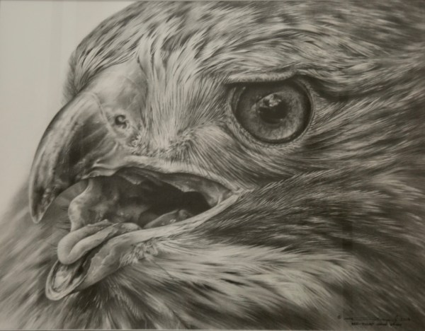 Red Tailed Hawk Study Algonquin Art Centre - Canadian