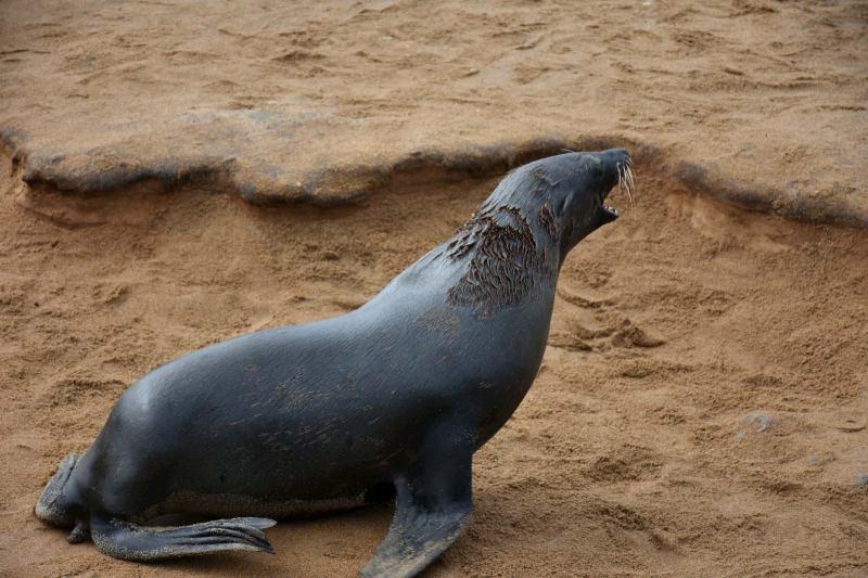 דב ים בנמביה