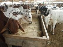 Olx Lahore Animals Goat