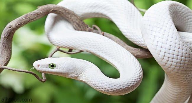"""شاهد: ثعبان أبيض كبير يثير هلع المارة بـ""""فيتنام"""""""