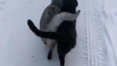 شاهد: التصاق قطتين بسبب الجليد - صحيفة هتون الدولية