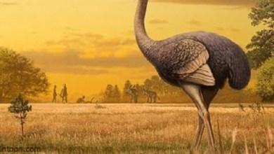 النعام اكبر طيور العالم -صحيفة هتون الدولية-