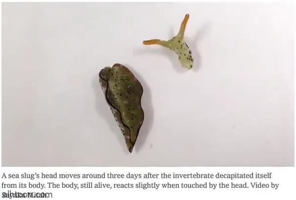 شاهد: بزاقات بحرية تفصل رأسها عن جسدها - صحيفة هتون الدولية