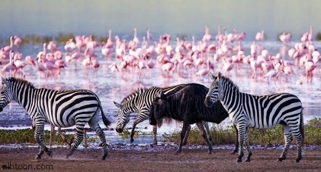 ناكورو سر الجمال الوردي في عمق القارة السمراء -صحيفة هتون الدولية