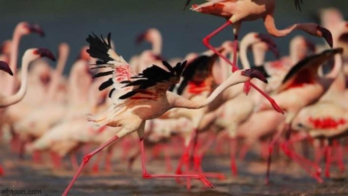 ناكورو سر الجمال الوردي في عمق القارة السمراء -صحيفة هتون الدولية-