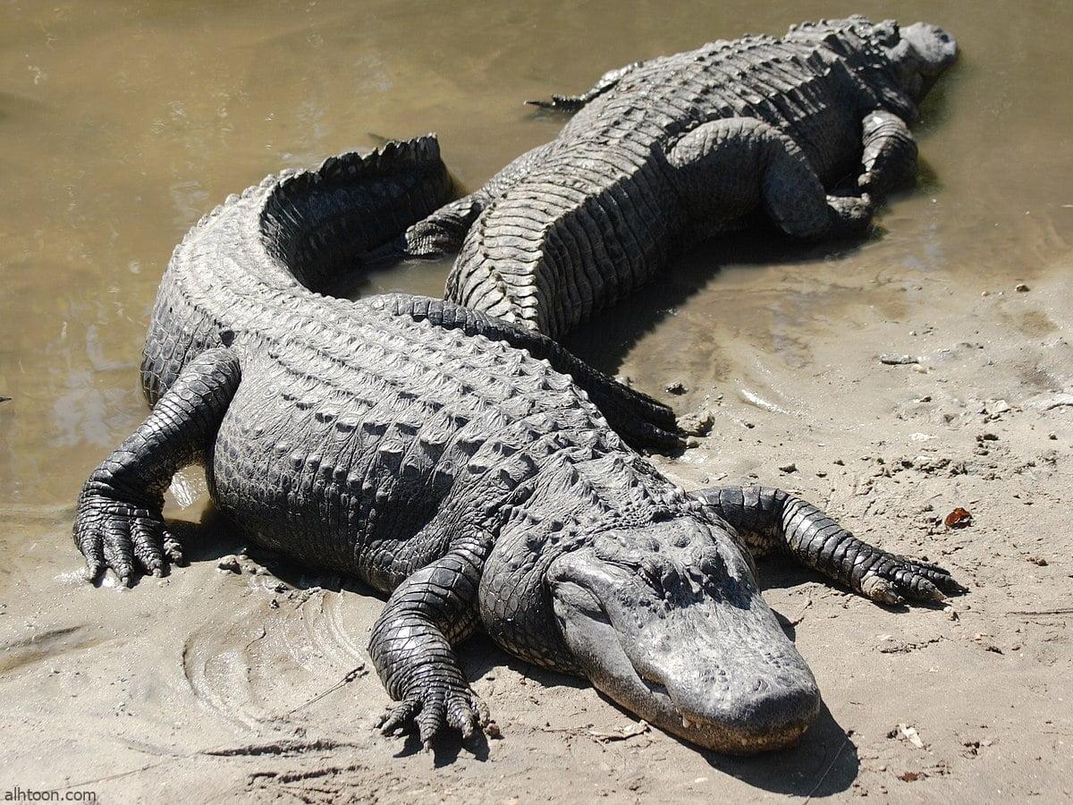 شاهد: حصار تمساح في منطقة سكنية - صحيفة هتون الدولية