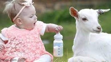 حليب الماعز وفوائده للرضع -صحيفة هتون الدولية
