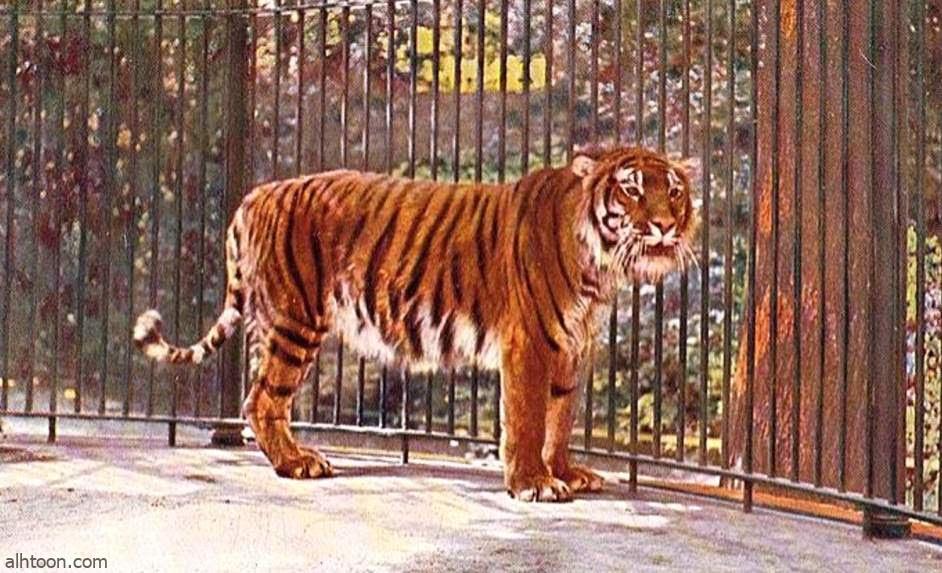 شاهد: نمر يروع الأهالي في الهند - صحيفة هتون الدولية