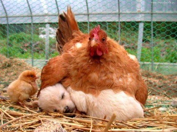 شاهد: دجاجة تؤدب كلب صغير - صحيفة هتون الدولية