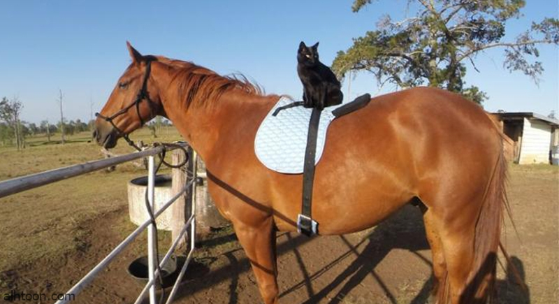 شاهد: قط يركب على ظهر حصان - صحيفة هتون الدولية