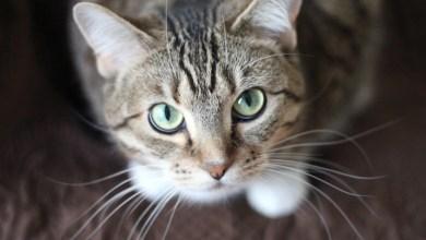 شاهد: كيف يكون خطوات القطط هادئة - صحيفة هتون الدولية