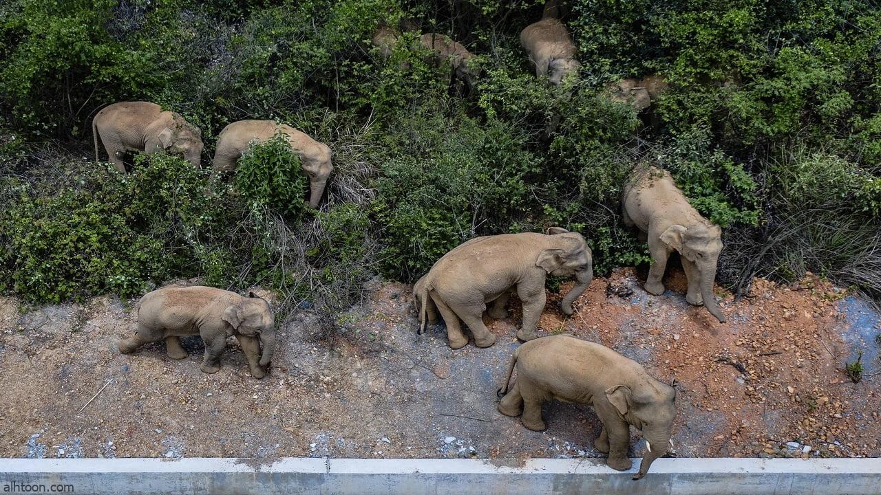 شاهد: سقوط أفيال في حفرة بالصين - صحيفة هتون الدولية