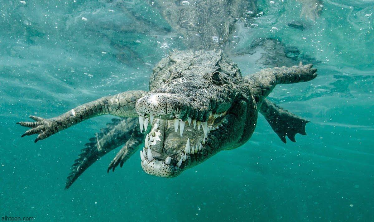 شاهد: تمساح يحاول افتراس امرأة تحت الماء - صحيفة هتون الدولية