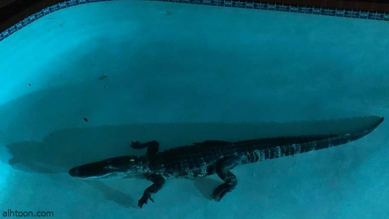 شاهد: تمساح يتسلل لحوض سباحة - صحيفة هتون الدولية