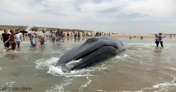 حوت نافق ضخم بشواطئ المغرب - صحيفة هتون الدولية -