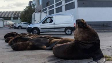 فيديو : أسود البحر تزحف على شوارع الأرجنتين - صحيفة هتون الدولية