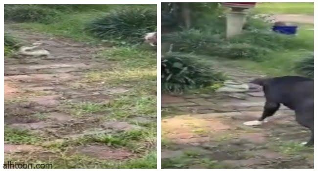 فيديو.. معركة حامية الوطيس بين كلب وأفعى - صحيفة هتون الدولية