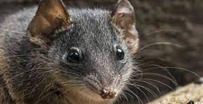 حيوان ثديي نادر ينجو من حرائق الغابات في أستراليا -صحيفة هتون الدولية