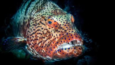 شاهد: سمكة هامور تفترس القرش - صحيفة هتون الدولية