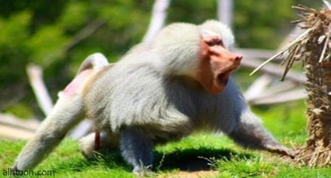قصة ( القرد الغاضب )