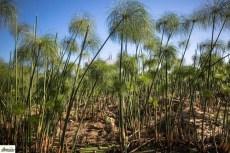 رحلة ورق البردي من النبات إلى البردية - صحيفة هتون الدولية