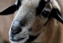 شاهد: خروف يؤدي قفزة مقصية - صحيفة هتون الدولية