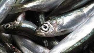 فوائد سمك السردين للانسان -صحيفة هتون الدولية-