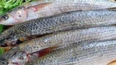 فوائد السمك البورى على صحة الجسم -صحيفة هتون الدولية-