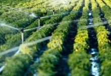 أهم المحاصيل الزراعية في المملكة -صحيفة هتون الدولية