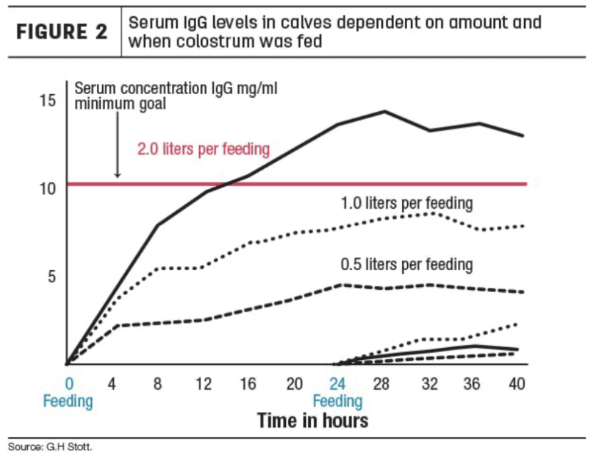 Absorción de inmunidad Un estudio realizado con terneros en una lechería grande encontró que duplicar la cantidad de calostro alimentado de .5 a 1 cuarto y luego de 1 a 2 cuartos por alimentación duplicó los niveles de IgG en plasma sanguíneo posteriores (Figura 2). Cuando se administró calostro al nacer, los niveles de IgG en plasma sanguíneo fueron aproximadamente un 25% mayores comparándolo a cuando la alimentación inicial de calostro se retrasó hasta cuatro horas después del nacimiento, se duplicó cuando se retrasó la primera alimentación hasta ocho horas después del nacimiento, y prácticamente no fue efectiva cuando se retrasó hasta 24 horas después del nacimiento. Otros factores que reducen la absorción de anticuerpos son las tensiones debidas al calor, el frío y especialmente la dificultad con el parto. Y las vacas gordas tienen partos más difíciles. Figura 2