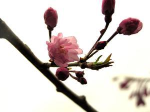 cherry-blossom-1315857-638x477