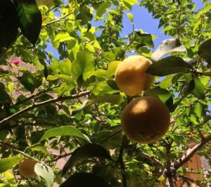 Citrons-dans-arbre
